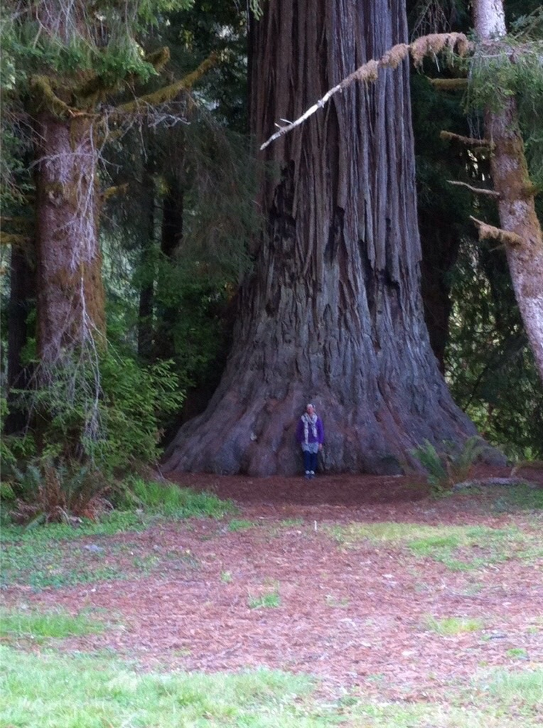 The Redwood State and National Park: A Cathedral of Silence